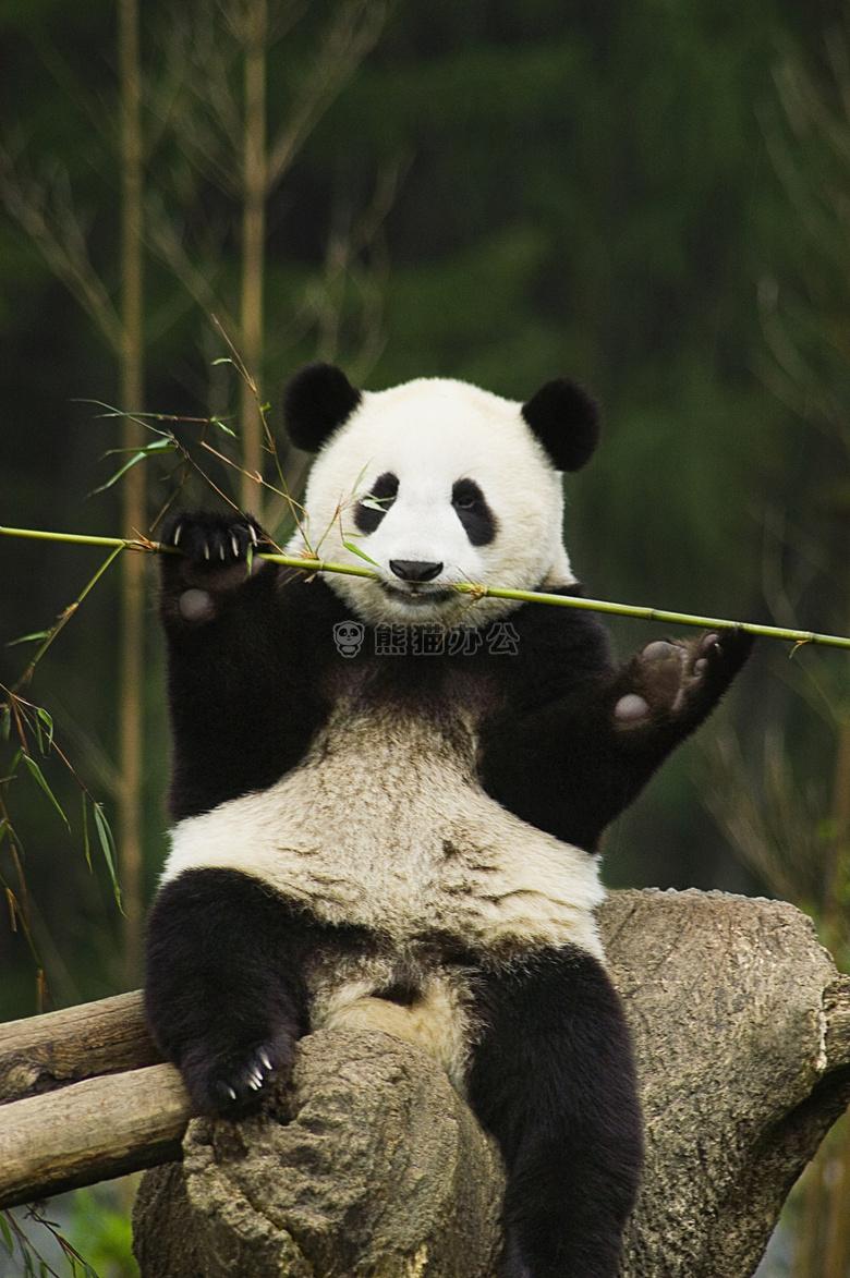 可爱熊猫高清图片ppt配图下载_熊猫办公