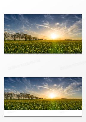 阳光下的美丽油菜花图片
