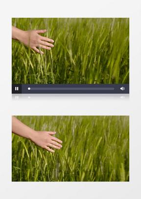 慢动作手轻抚小麦实拍中美亚洲欧美综合在线素材