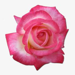 玫瑰花茶的图标png图片素材免费下载 玫瑰png 256 256像素 熊猫办公